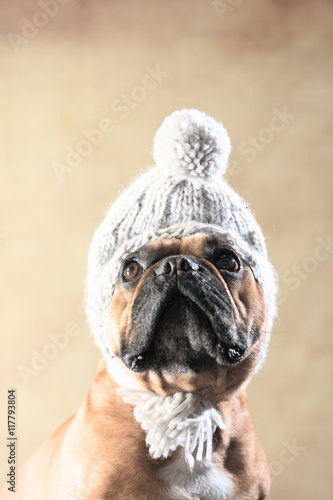 Fotobehang Franse bulldog Französische Bulldogge mit Wintermütze