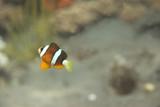 Fototapeta Do akwarium - błazenek płynie © agarianna