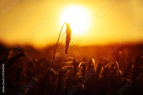 Foto op Plexiglas Bruin Grain wheat field in the golden yellow summer sun shine close up beautiful nature background