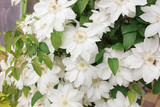White Clematis flowers, close up photo
