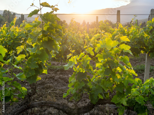 Vineyards of the Crimean peninsula in the setting sun © VPales