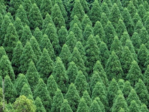 八女の杉林