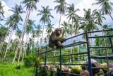 Monkey coconut gatherer sit on pickup truck