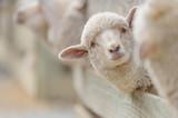 sheep breeding and farming - Schaf Aufzucht  - 117897224