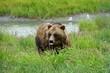 A brown bear in the grass in Alaska