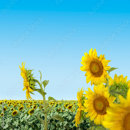 image of sunflowers in a field close-up