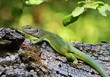 European Green Lizard on rotten stump, Lacerta viridis