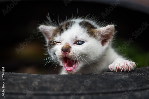 Poster Newly Born Cute Little White Baby Cat With Open Mouth Without Teeth