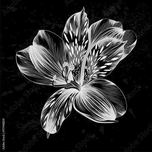 beautiful monochrome, black and white Alstroemeria flower © Hulinska Yevheniia
