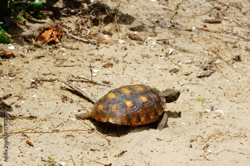 Poster Gopher turtle in habitat
