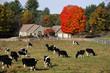 cows in autumn farm