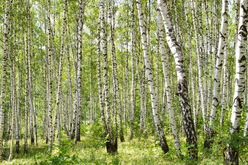 Many birch trees in the forest