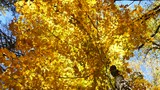 Golden maple leaves. Connecticut