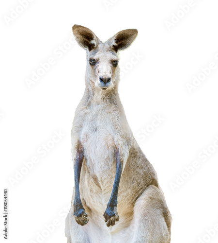 Fotobehang Kangoeroe Kangaroo isolated on white background