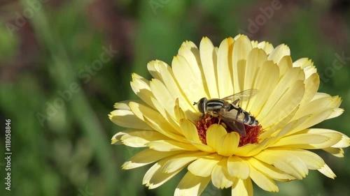 Zdjęcia na płótnie, fototapety, obrazy : Bee on marigold