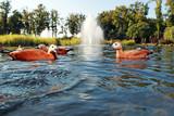 утки плавают в озере
