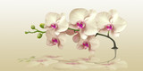 Orchid with reflection in the panorama