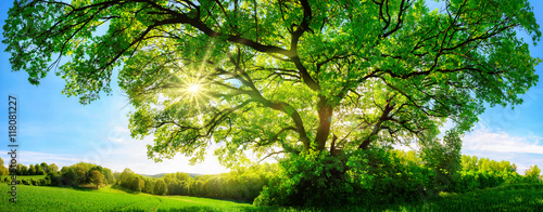 Leinwandbild Motiv Die Sonne scheint durch große majestätische Eiche, Panorama Format