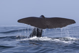 the tail of a sperm whale which dives into the water a summer da