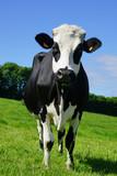 Animal ferme vache 162