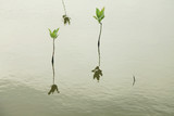 Reflection of Small Mangrove seedlings trees