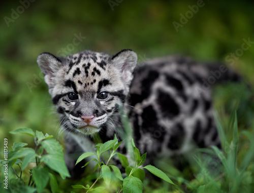 Fototapeta clouded leopard cub