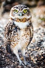 Burrowing Owl (Speotyto cunicularia) © Gaschwald