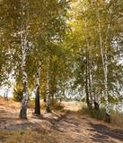 Beautiful Autumn birch trees