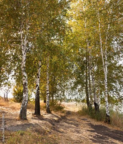 Beautiful Autumn birch trees - 118215807