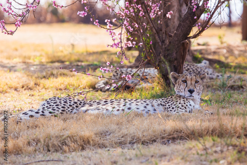 Poster Cheetah under the cherry blossoms