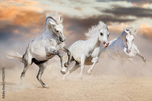 Three white horse with long mane run in desert dust against beautiful sky