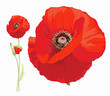 Red poppy (Papaver rheas) - Hand drawn vector illustration of a red poppy in full bloom and a bud on transparent background.