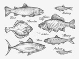 Fototapety Hand drawn fish. Sketch trout, carp, tuna, herring, flounder, anchovy. Vector illustration