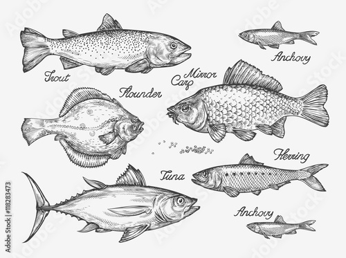 Hand drawn fish. Sketch trout, carp, tuna, herring, flounder, anchovy. Vector illustration