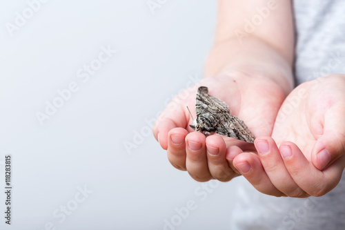 Poster A butterfly of silkmoth in a child's hands - Lymantria dispar