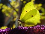 butterfly on top of butterfly bush