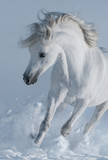 Close up galloping white stallions in snow. - 118288885