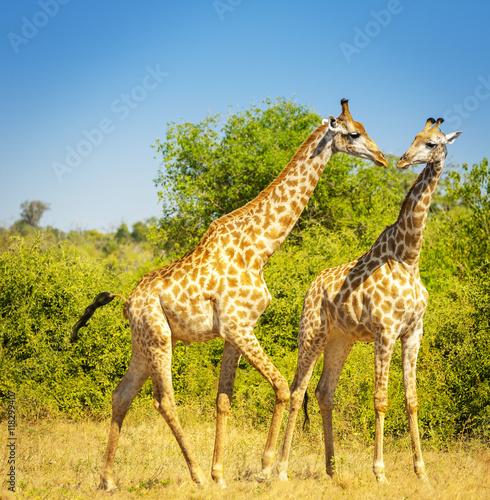 Giraffes in Africa Poster