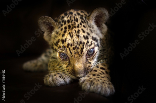 Tuinposter Panter Beautiful jaguar baby on a black background