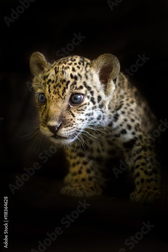 Jaguar cub on a black background