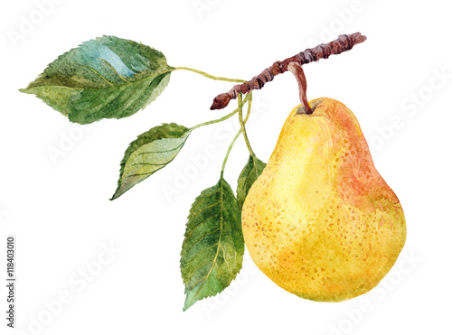 the fruit of pear on the tree branch watercolor on the white background Poster