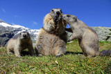Murmeltierfamilie im Gebirge. Ein Murmeltier mit zwei Jungen