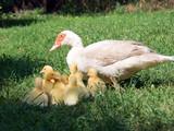 Silent duck (Cairina moschata)