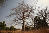 baobab na afrykańskiej sawannie