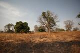 Fototapeta Sawanna - baobab i inne drzewa na afrykańskiej sawannie © agarianna