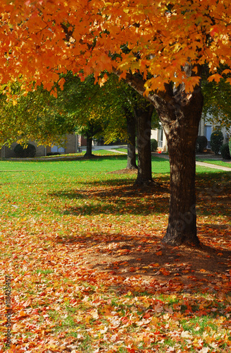 Papiers peints Rouge traffic autumn tree and fallen leaves on the lawn in residential area