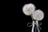 Two dandelion in the glass bottle.Black background.Free space.