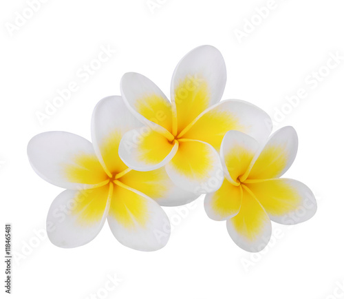 Plexiglas Plumeria Tropical flowers frangipani (plumeria)