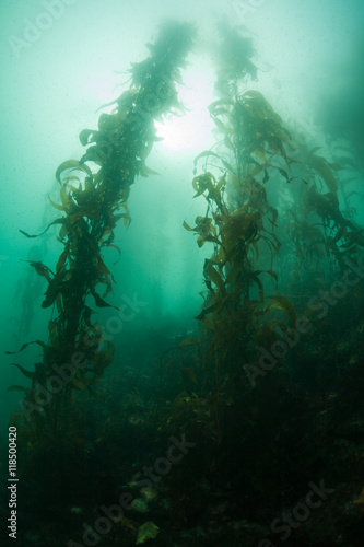 Poster Water planten Giant Kelp Growing Off the Coast of California