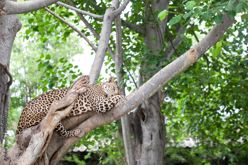 Deurstickers Luipaard Leopard on the tree